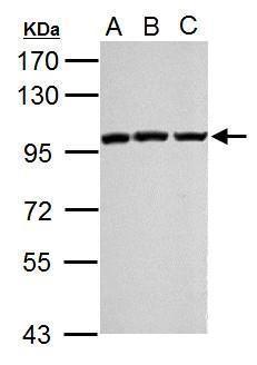 EZH2 Antibody (PA5-29129) in Western Blot