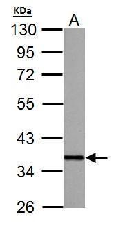 APE1 Antibody (PA5-29157) in Western Blot