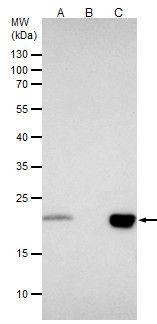 BID Antibody (PA5-29159) in Immunoprecipitation