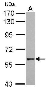 Cdc6 Antibody (PA5-29167) in Western Blot