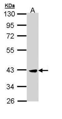 CK2 alpha Antibody (PA5-29185) in Western Blot