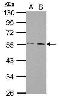 STAMBP Antibody (PA5-29187) in Western Blot