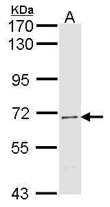 hCdc4 Antibody (PA5-29193)