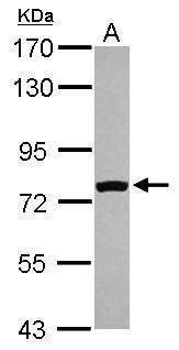 FASTKD5 Antibody (PA5-29194) in Western Blot