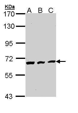Cdc23 Antibody (PA5-29218) in Western Blot