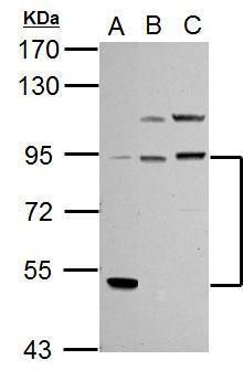 PIK3R1 Antibody (PA5-29220) in Western Blot