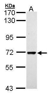 PPIL2 Isoform B Antibody (PA5-29226)