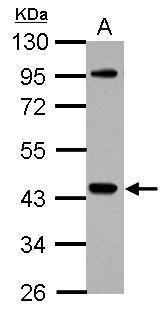 NCK1 Antibody (PA5-29232) in Western Blot
