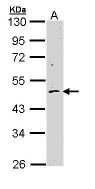 Cyclin B2 Antibody (PA5-29233) in Western Blot