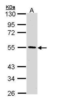 HIPPI Antibody (PA5-29234) in Western Blot