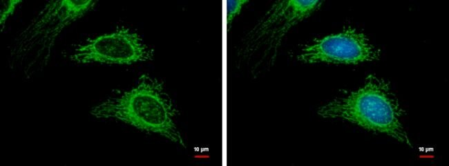 TRAF2 Antibody (PA5-29238) in Immunofluorescence
