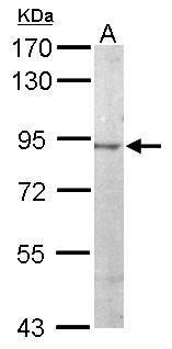 JIP2 Antibody (PA5-29245) in Western Blot