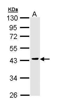 GSK3 beta Antibody (PA5-29265)