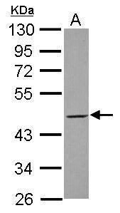 MEK2 Antibody (PA5-29291) in Western Blot