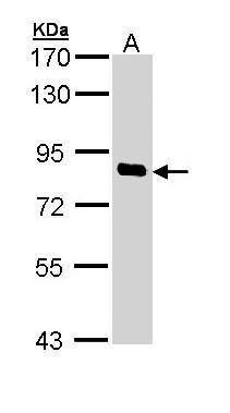 SCYL1 Antibody (PA5-29295) in Western Blot