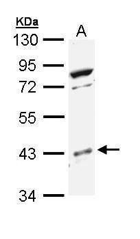 p38 MAPK beta Antibody (PA5-29302) in Western Blot
