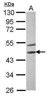 STK40 Antibody (PA5-29305) in Western Blot
