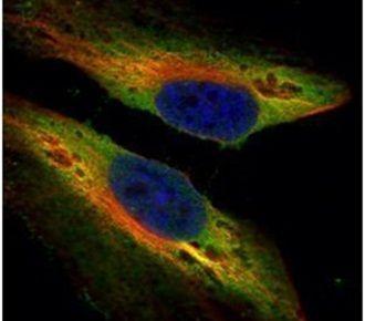 PTK9 Antibody (PA5-29312) in Immunofluorescence