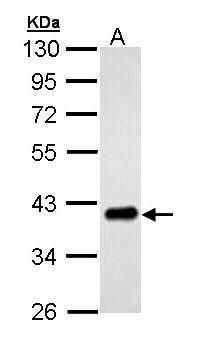 PTK9 Antibody (PA5-29312) in Western Blot
