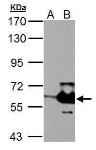 MST2 Antibody (PA5-29320)