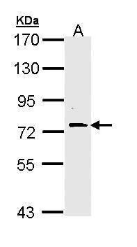 FAF1 Antibody (PA5-29330) in Western Blot
