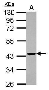 CNPase Antibody (PA5-29345) in Western Blot