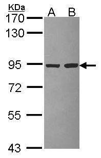 PIK3R2 Antibody (PA5-29355)
