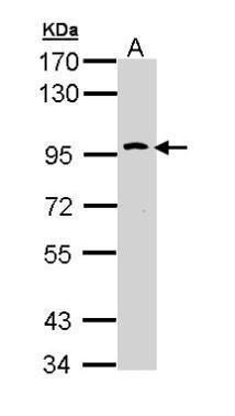 TLR10 Antibody (PA5-29364) in Western Blot