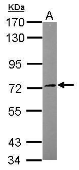 SGK3 Antibody (PA5-29376) in Western Blot
