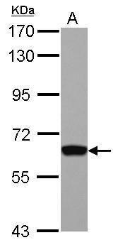 GTF2H1 Antibody (PA5-29379)