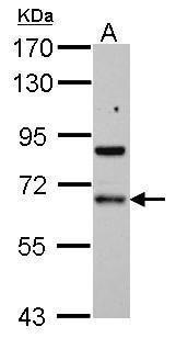PDLIM5 Antibody (PA5-29394)