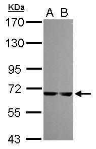 MELK Antibody (PA5-29406) in Western Blot