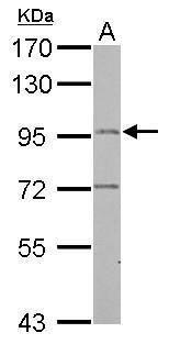 LRGUK Antibody (PA5-29413) in Western Blot