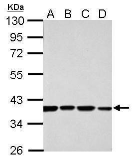 SPDYA Antibody (PA5-29417) in Western Blot