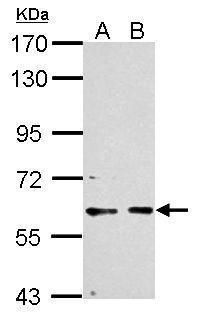 PCTAIRE1 Antibody (PA5-29418) in Western Blot