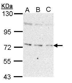 NEK8 Antibody (PA5-29422) in Western Blot