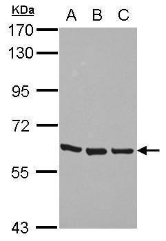 ZNF350 Antibody (PA5-29429) in Western Blot
