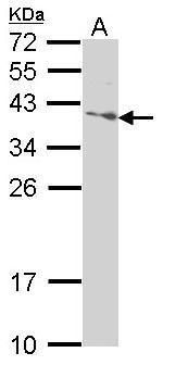 SAP30BP Antibody (PA5-29431) in Western Blot