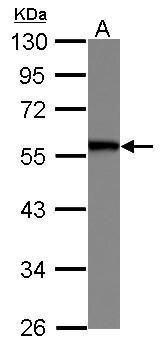 SERBP1 Antibody (PA5-29440)