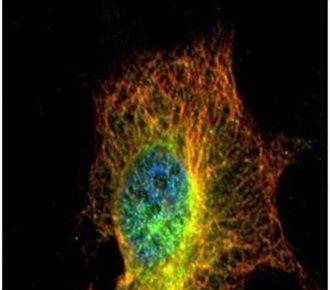 alpha Tubulin Polyclonal Antibody