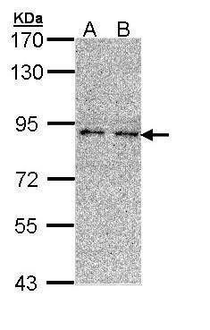 LONRF3 Antibody (PA5-29446) in Western Blot