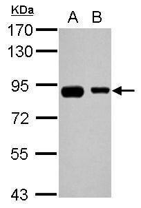EPS8L2 Antibody (PA5-29447) in Western Blot