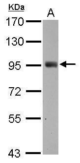 SH2D3C Antibody (PA5-29448) in Western Blot