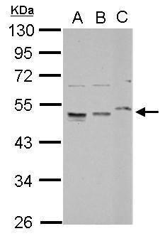 RPL4 Antibody (PA5-29453) in Western Blot
