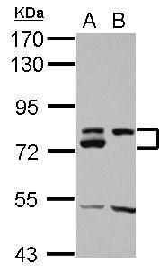 DMTF1 Antibody (PA5-29466)
