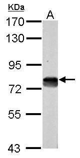 DMTF1 Antibody (PA5-29466) in Western Blot