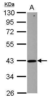 ZNHIT2 Antibody (PA5-29483) in Western Blot