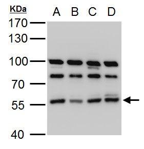 HMGCS1 Antibody (PA5-29488) in Western Blot