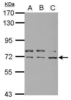 KID Antibody (PA5-29490) in Western Blot