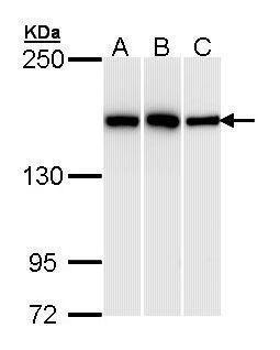 HDLBP Antibody (PA5-29494) in Western Blot